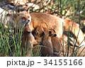 キタキツネ 狐 親子の写真 34155166
