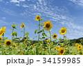 ひまわり 向日葵 ソレイユの丘の写真 34159985