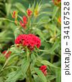 ケイトウの花 34167528