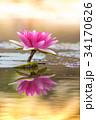 睡蓮 すいれん 池の写真 34170626