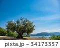 小豆島 樹齢千年のオリーヴ大樹 降り注ぐ朝の光 34173357