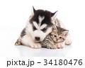 Cute siberian husky puppy cuddling cute kitten 34180476