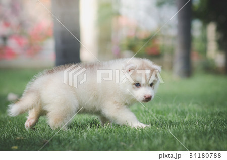 Siberian husky puppy on green grass 34180788 pixta siberian husky puppy on green grass voltagebd Image collections