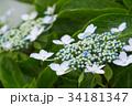 植物 花 アジサイの写真 34181347