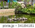 かめ カメ 亀の写真 34184181
