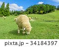 六甲山牧場 羊 青空 34184397