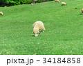 六甲山牧場 羊 34184858