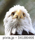 ハクトウワシ 34186466
