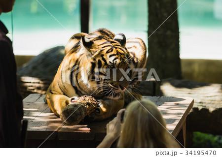 close-up of a beautiful big tigerの写真素材 [34195470] - PIXTA