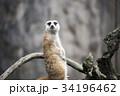 動物 ミーアキャット 34196462