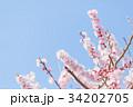 つぼみ 春 梅の写真 34202705
