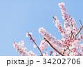 つぼみ 春 梅の写真 34202706