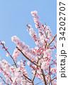 つぼみ 春 梅の写真 34202707