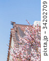 つぼみ 春 梅の写真 34202709