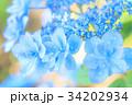 アジサイ 花 水滴の写真 34202934