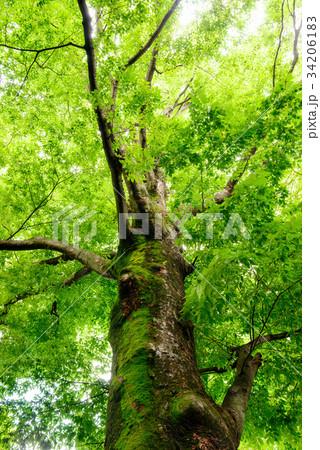 深い森の大きな木 34206183