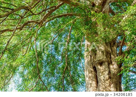 大きな常緑樹 34206185