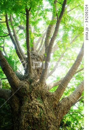 クスノキの巨樹 34206204