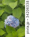 Blue Hydrangea at Rainy Garden in June, Japan 34206338