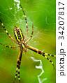 蜘蛛 女郎蜘蛛 昆虫の写真 34207817