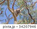 木の上で昼寝するコアラ 34207946