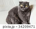 ねこ ネコ 猫の写真 34209471