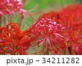 ニシキヒガンバナ 花 彼岸花の写真 34211282