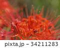 花 彼岸花 曼珠沙華の写真 34211283