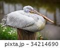 ペリカン モモイロペリカン 鳥の写真 34214690