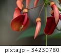 カイコウズ アメリカデイゴ 花の写真 34230780