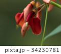 カイコウズ アメリカデイゴ 花の写真 34230781