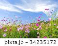 花 秋桜 コスモスの写真 34235172
