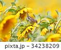 ひまわり 向日葵 すずめの写真 34238209