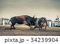 動物 雄牛 牛の写真 34239904
