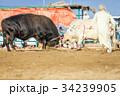 動物 雄牛 牛の写真 34239905