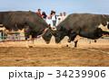 動物 雄牛 牛の写真 34239906