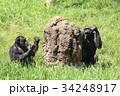 チンパンジー 動物 蟻塚の写真 34248917