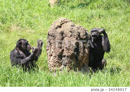多摩動物公園のチンパンジー 34248917