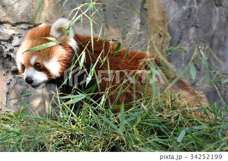 横浜・野毛山動物園のレッサーパンダ 34252199