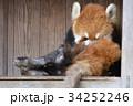 動物園 レッサーパンダ ズーラシアの写真 34252246