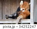 動物園 レッサーパンダ ズーラシアの写真 34252247