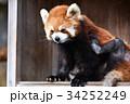 動物園 レッサーパンダ ズーラシアの写真 34252249