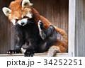 動物園 レッサーパンダ ズーラシアの写真 34252251