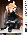 動物園 レッサーパンダ ズーラシアの写真 34252458