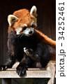 動物園 レッサーパンダ ズーラシアの写真 34252461