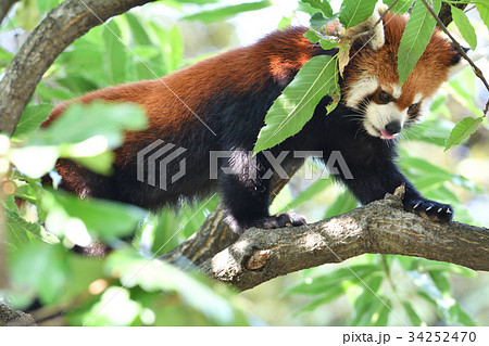横浜・野毛山動物園のレッサーパンダ 34252470
