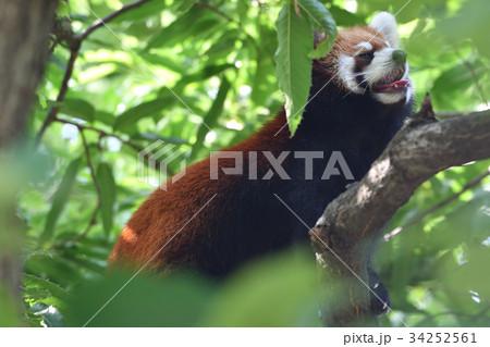 横浜・野毛山動物園のレッサーパンダ 34252561