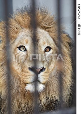 横浜・野毛山動物園のライオン 34252563