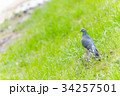 鳩 鳥 野鳥の写真 34257501
