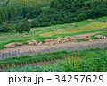 大山千枚田 棚田 秋の写真 34257629